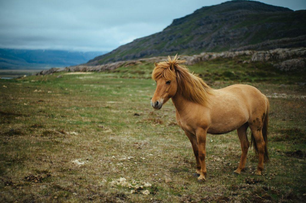On croise plein d'animaux en liberté comme des moutons ou des chevaux islandais.